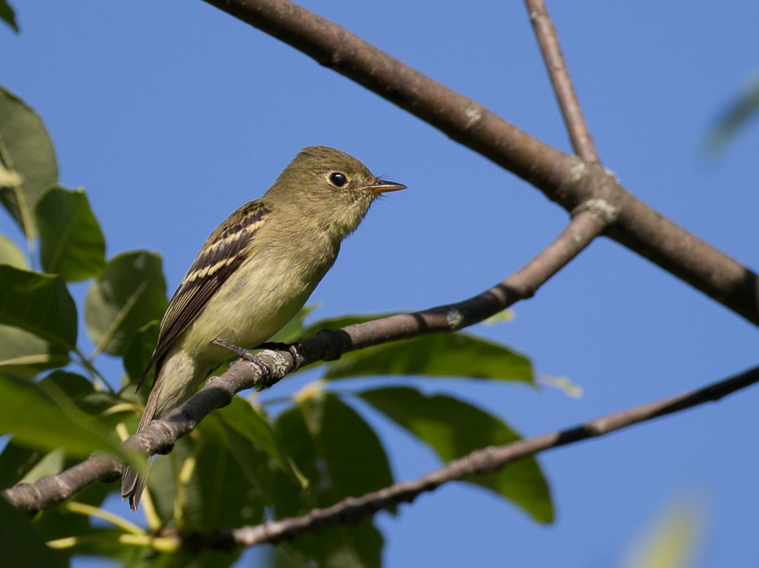 Yellow-bellied Flycatcher - Chris Wood