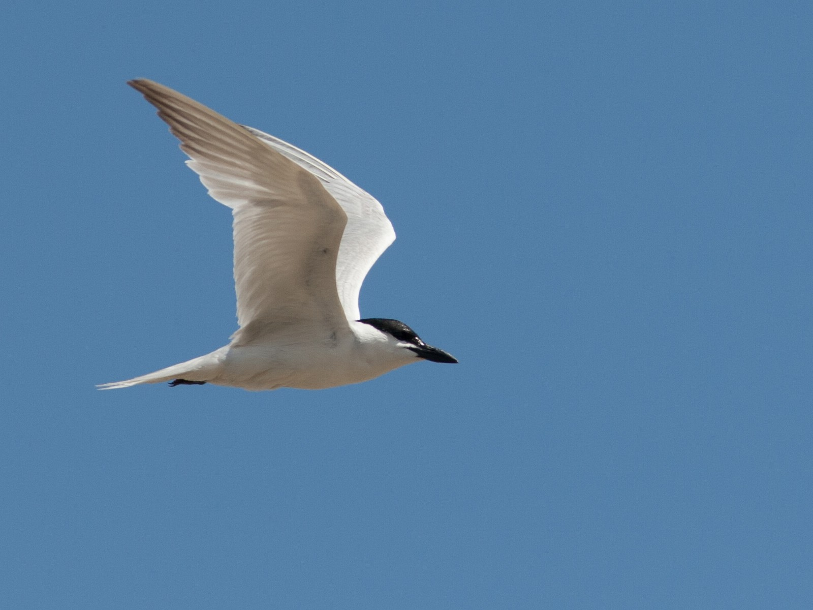 Gull-billed Tern - Brian Sullivan
