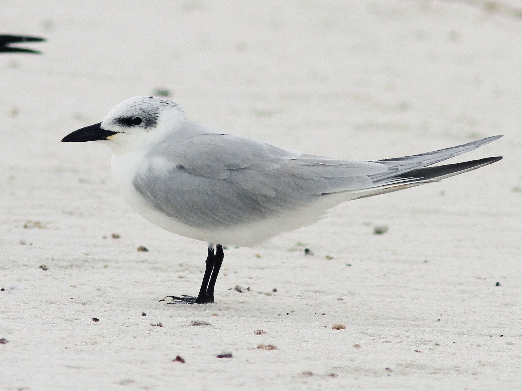Gull-billed Tern - Vince Capp