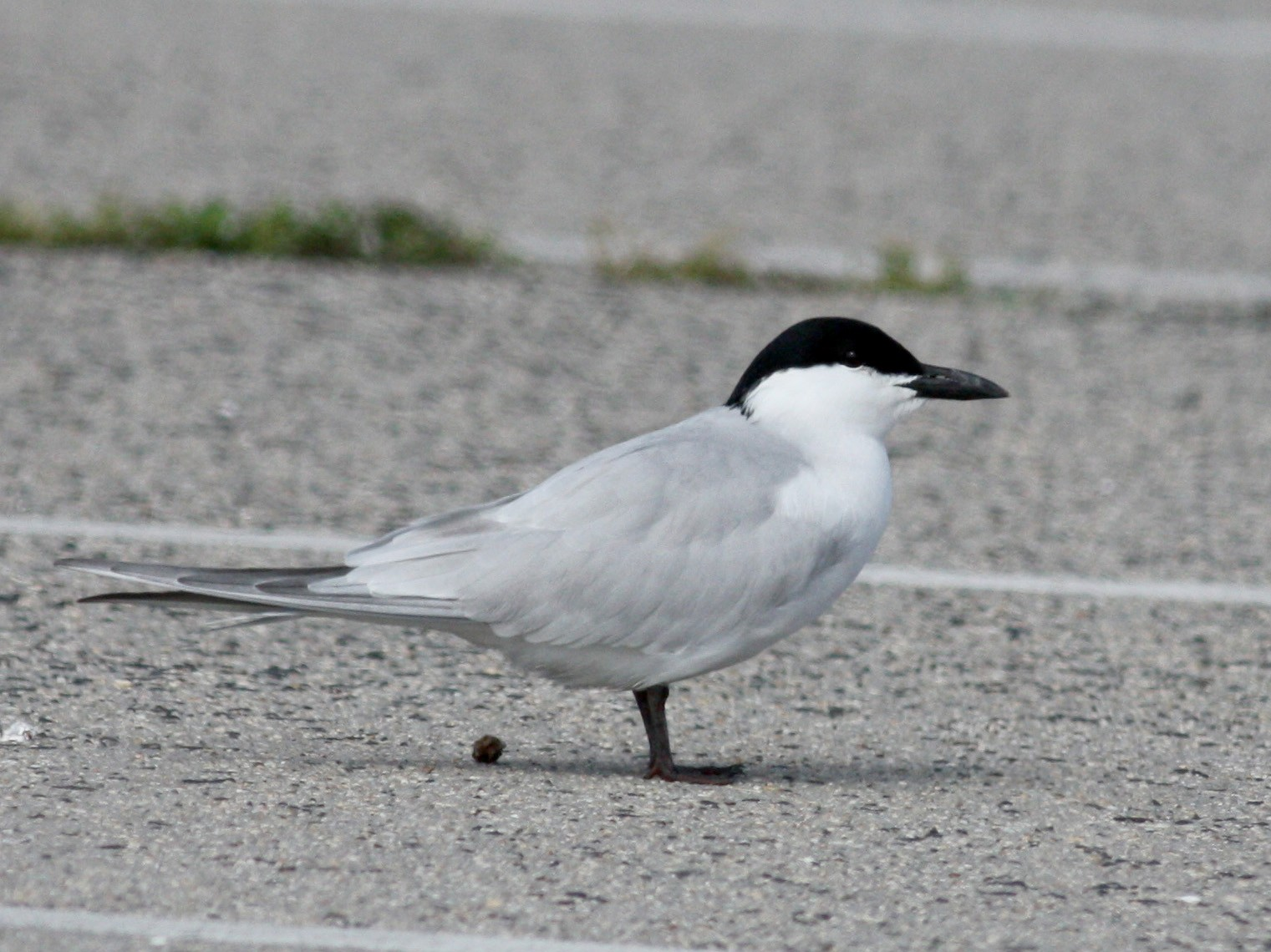 Gull-billed Tern - Jay McGowan