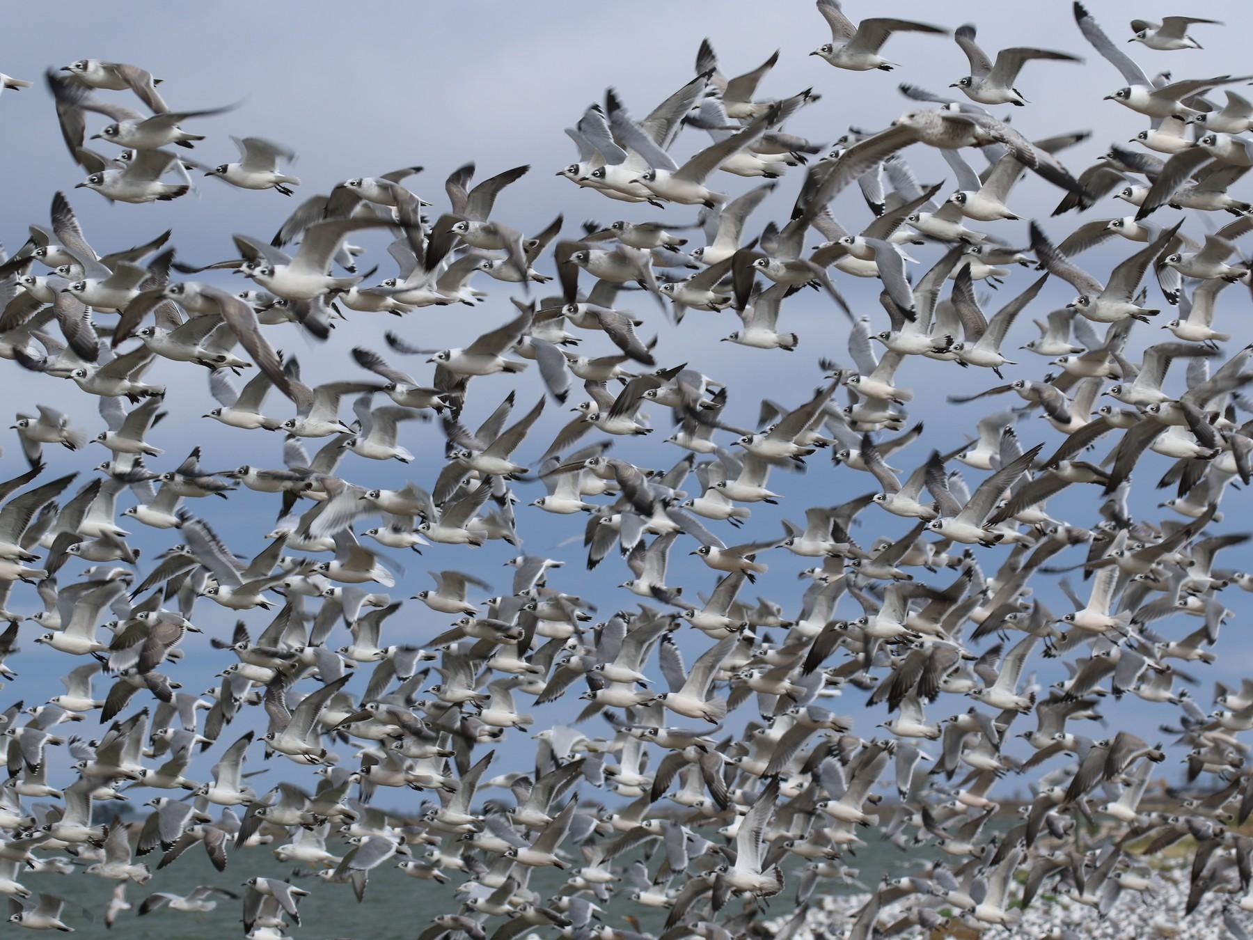 Franklin's Gull - David Lambeth