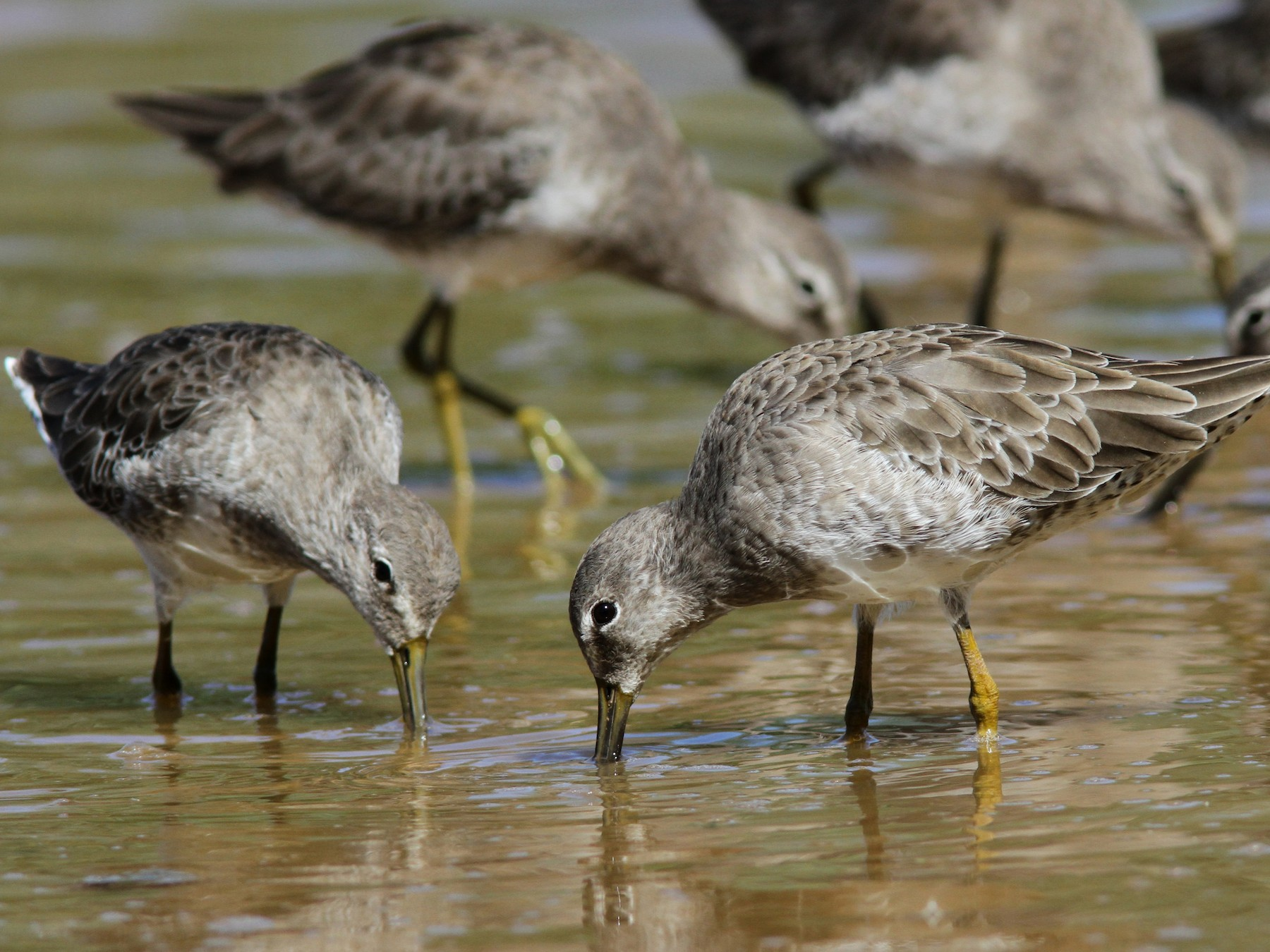 Long-billed Dowitcher - Sean Fitzgerald