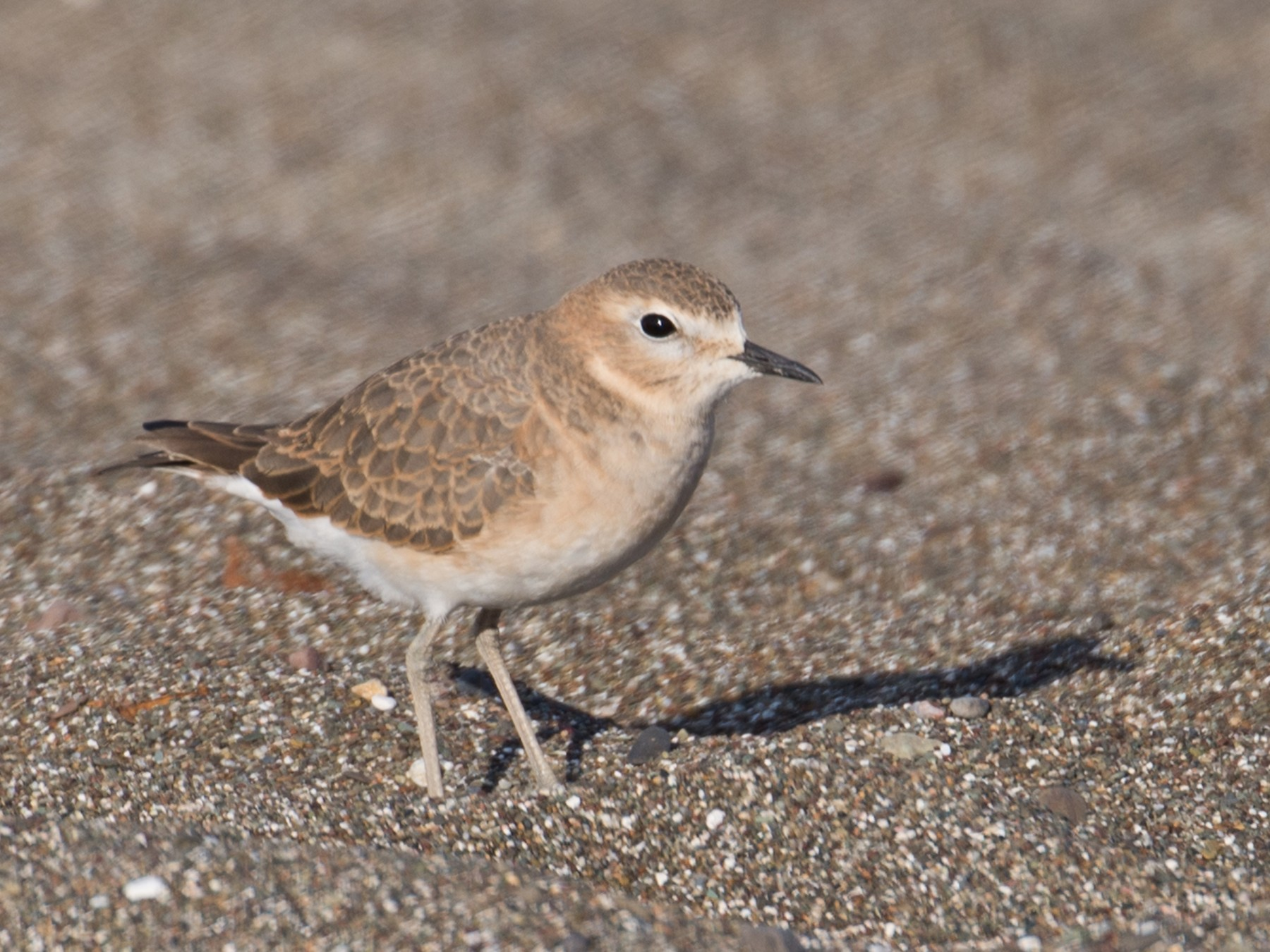 Mountain Plover - Herb Elliott