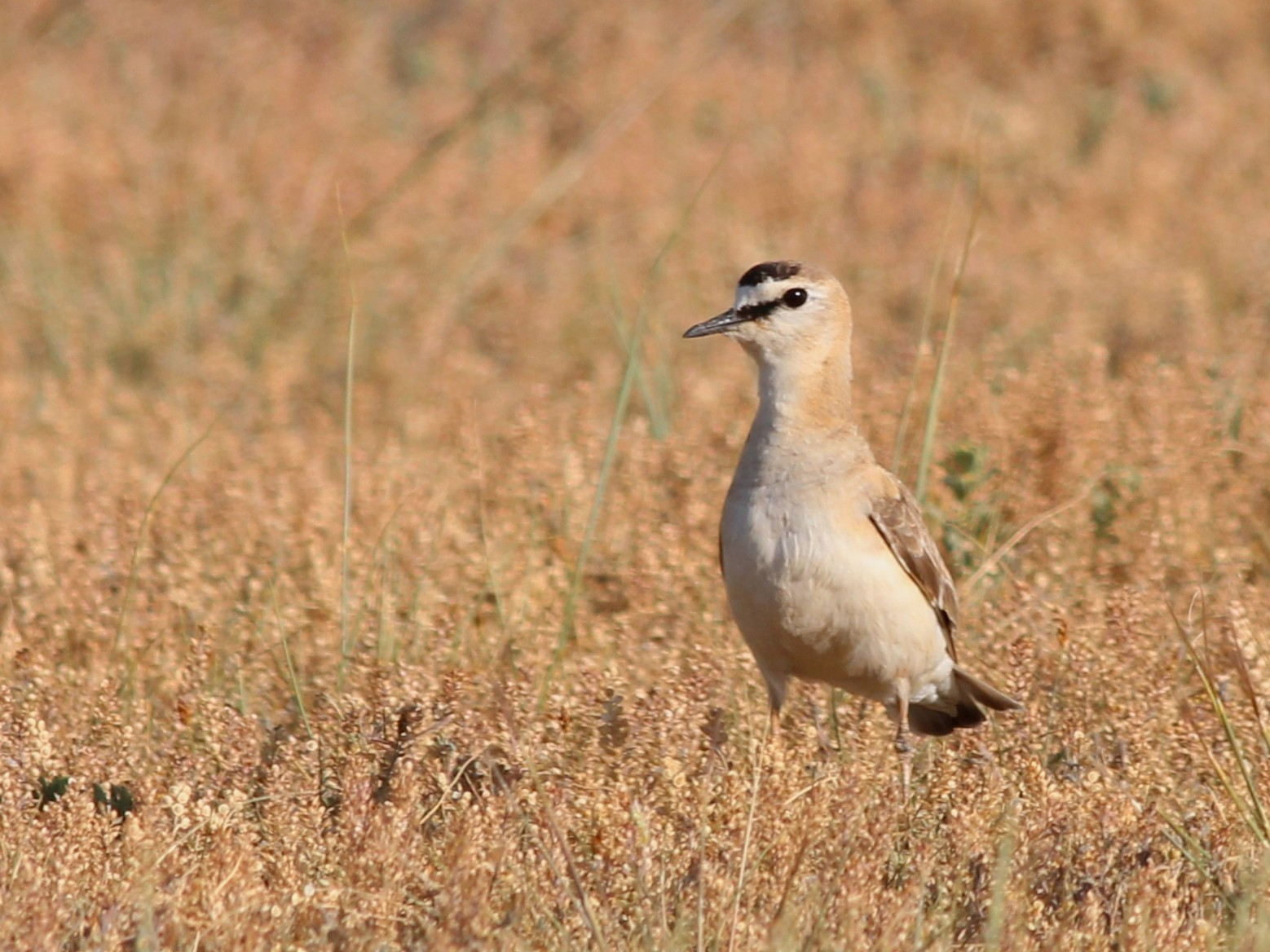 Mountain Plover - Shawn Billerman