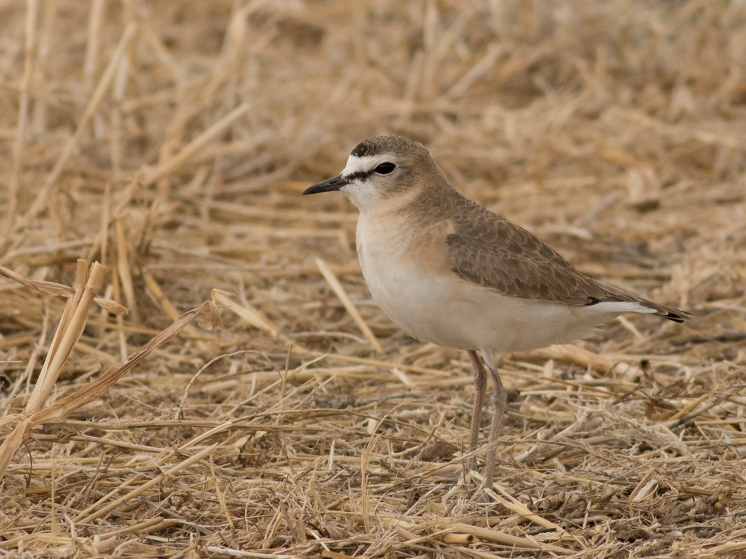 Mountain Plover - Tom Johnson