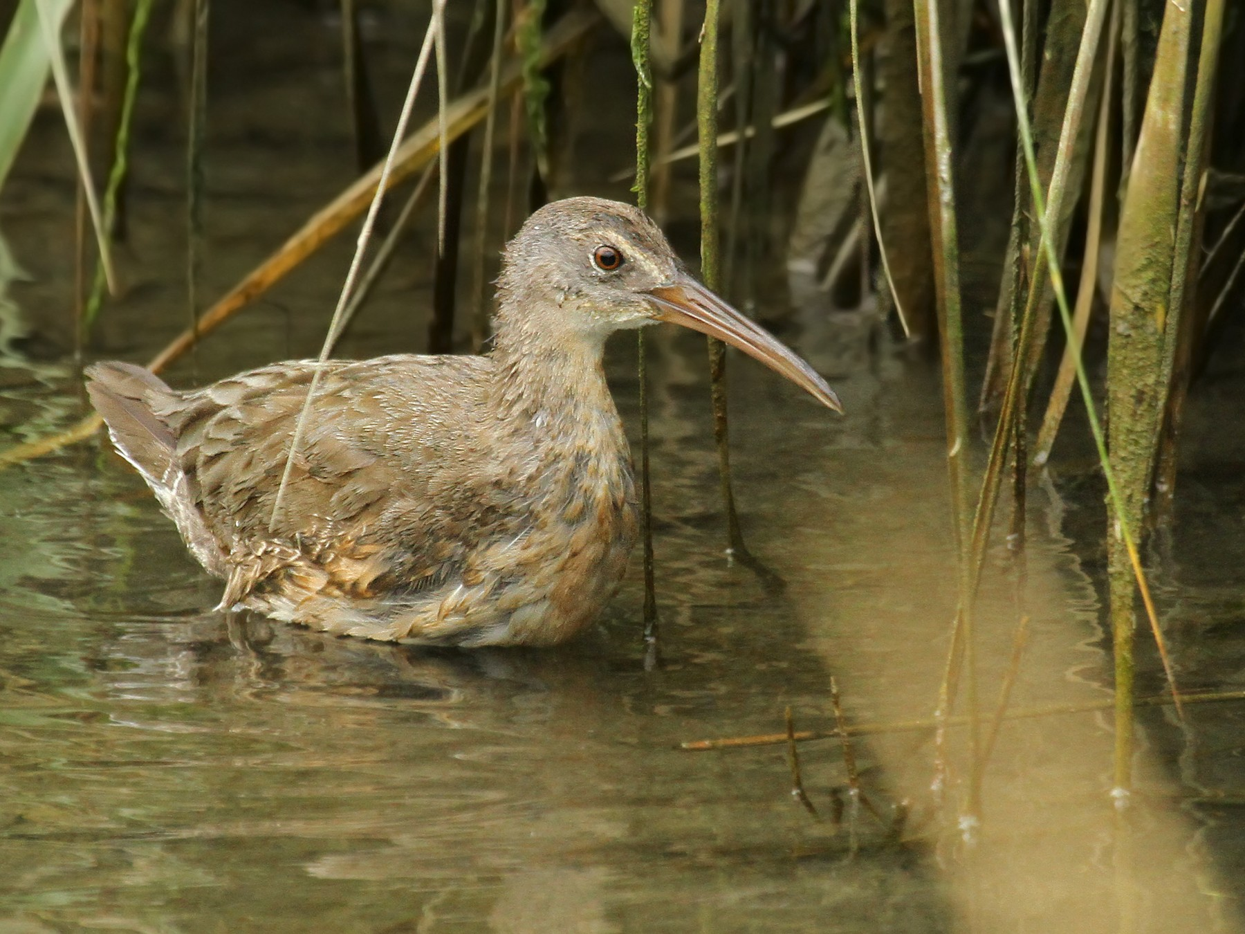Clapper Rail - Ryan Schain
