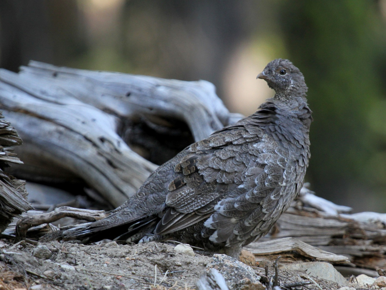 Sooty Grouse - Matthew Grube
