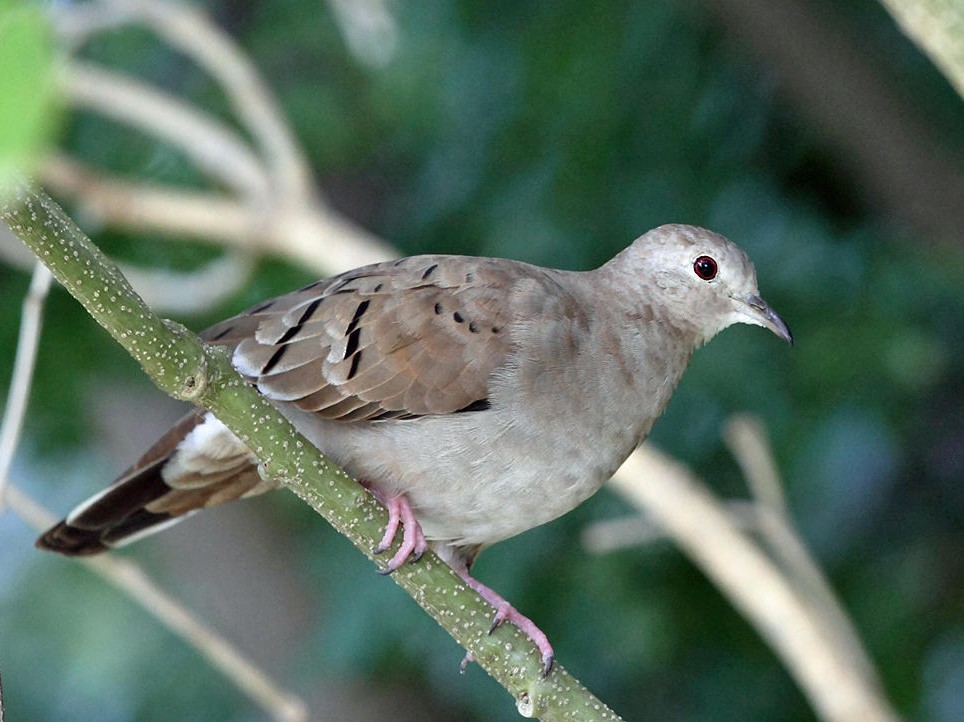 Ruddy Ground Dove - Tom Murray