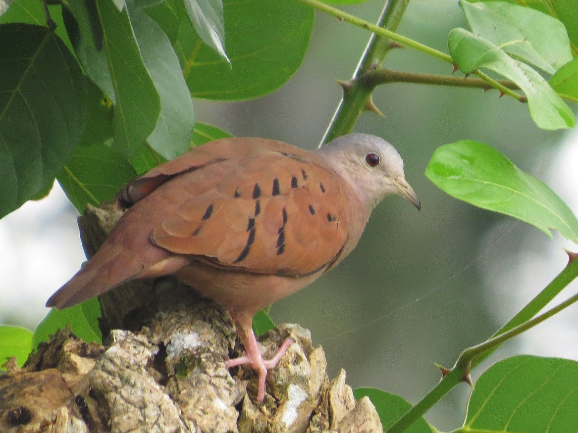 Ruddy Ground Dove - Róger Rodríguez Bravo