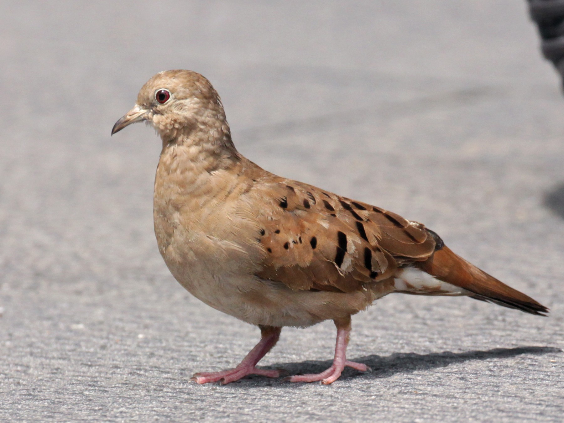 Ruddy Ground Dove - Doug Korver