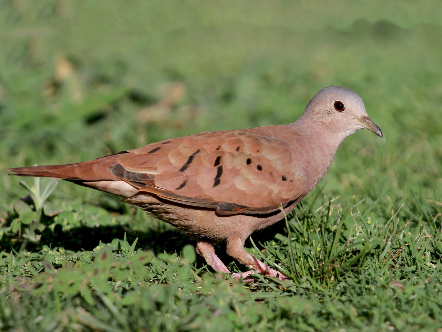 Ruddy Ground Dove - Matthew Grube