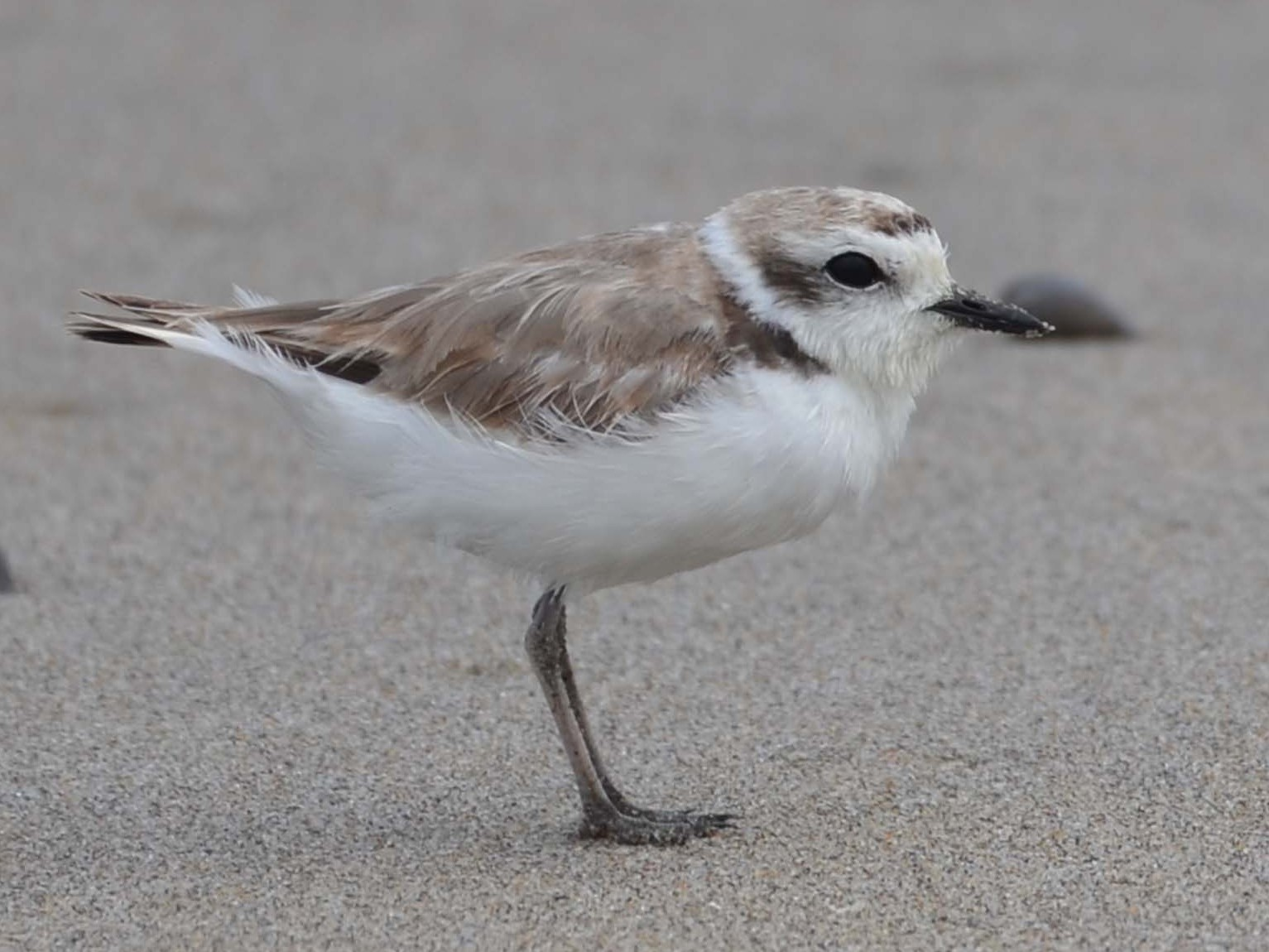 Snowy Plover - Tom Unsicker