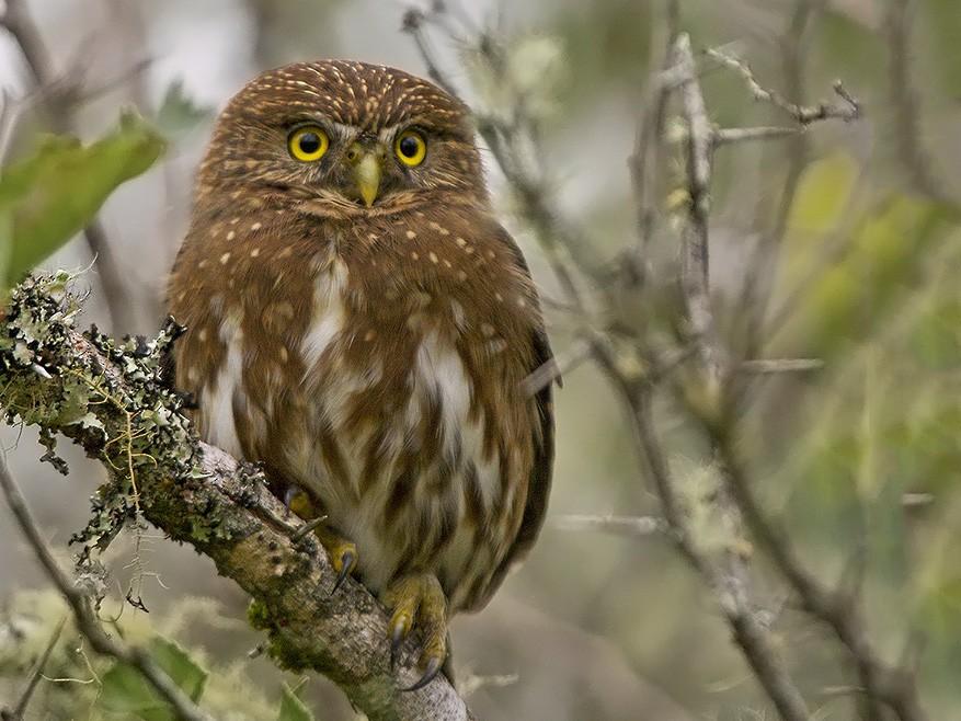 Ferruginous Pygmy-Owl - Santiago Carvalho
