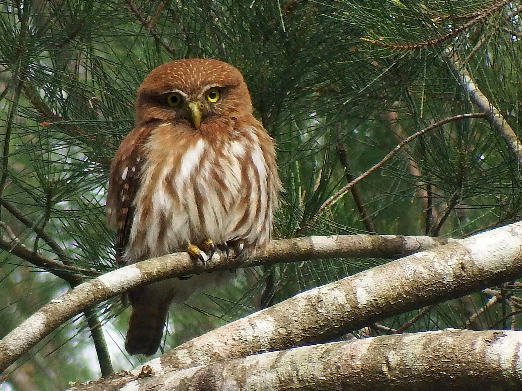 Ferruginous Pygmy-Owl - Gilberto Flores-Walter (Feathers Birding)