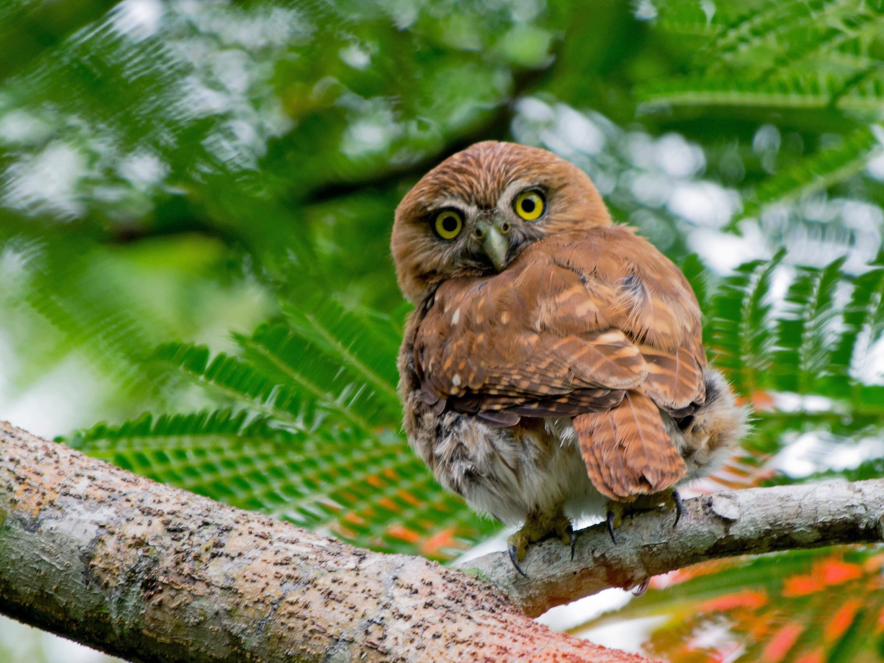 Ferruginous Pygmy-Owl - Matthew Bell