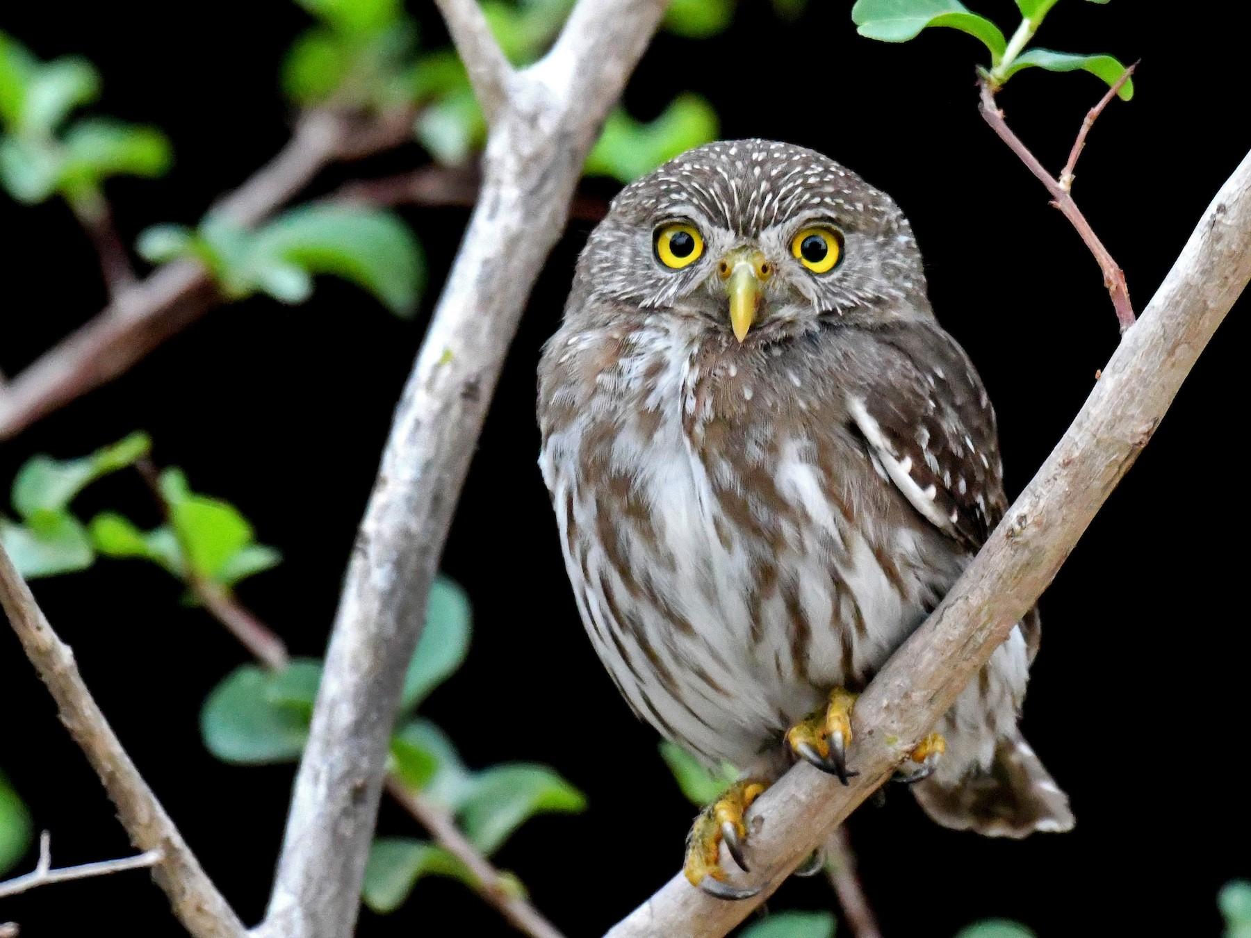 Ferruginous Pygmy-Owl - Brian Henderson