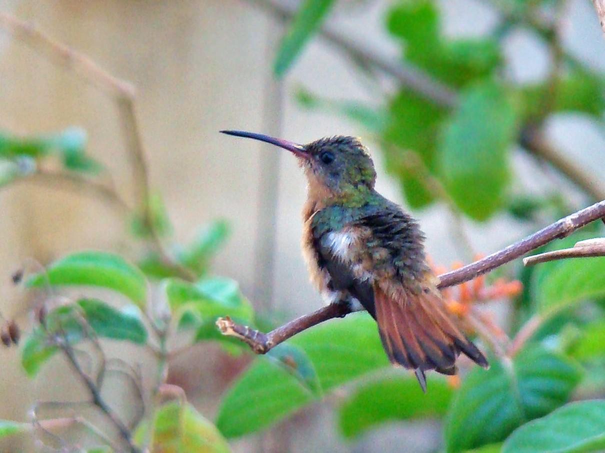 Cinnamon Hummingbird - Roberto Amaya