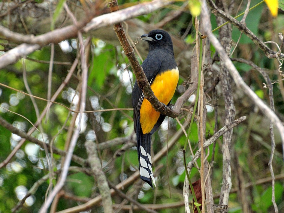 Black-headed Trogon - Joel Trick