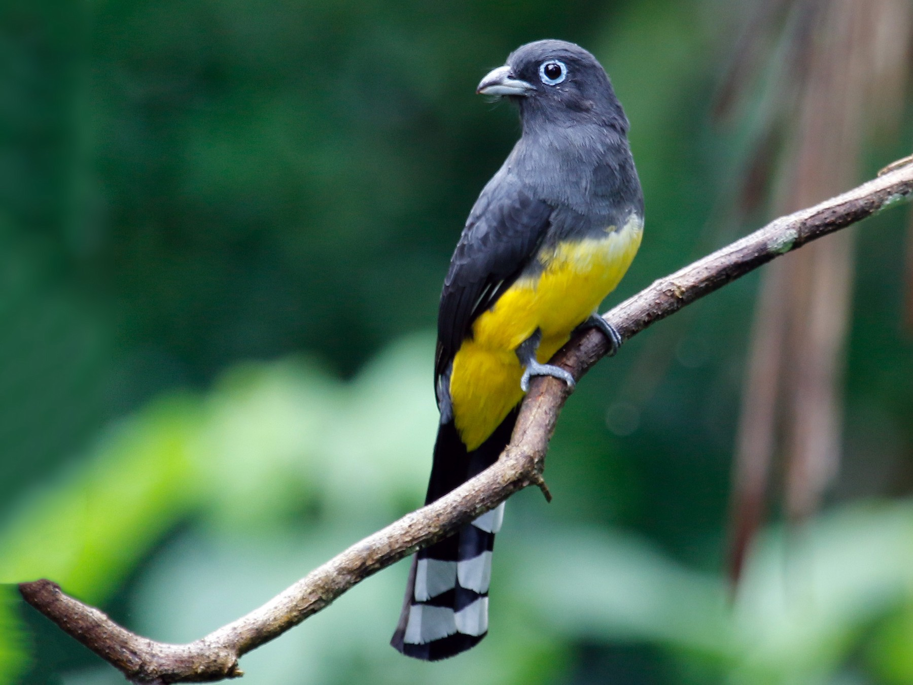 Black-headed Trogon - Joel Such