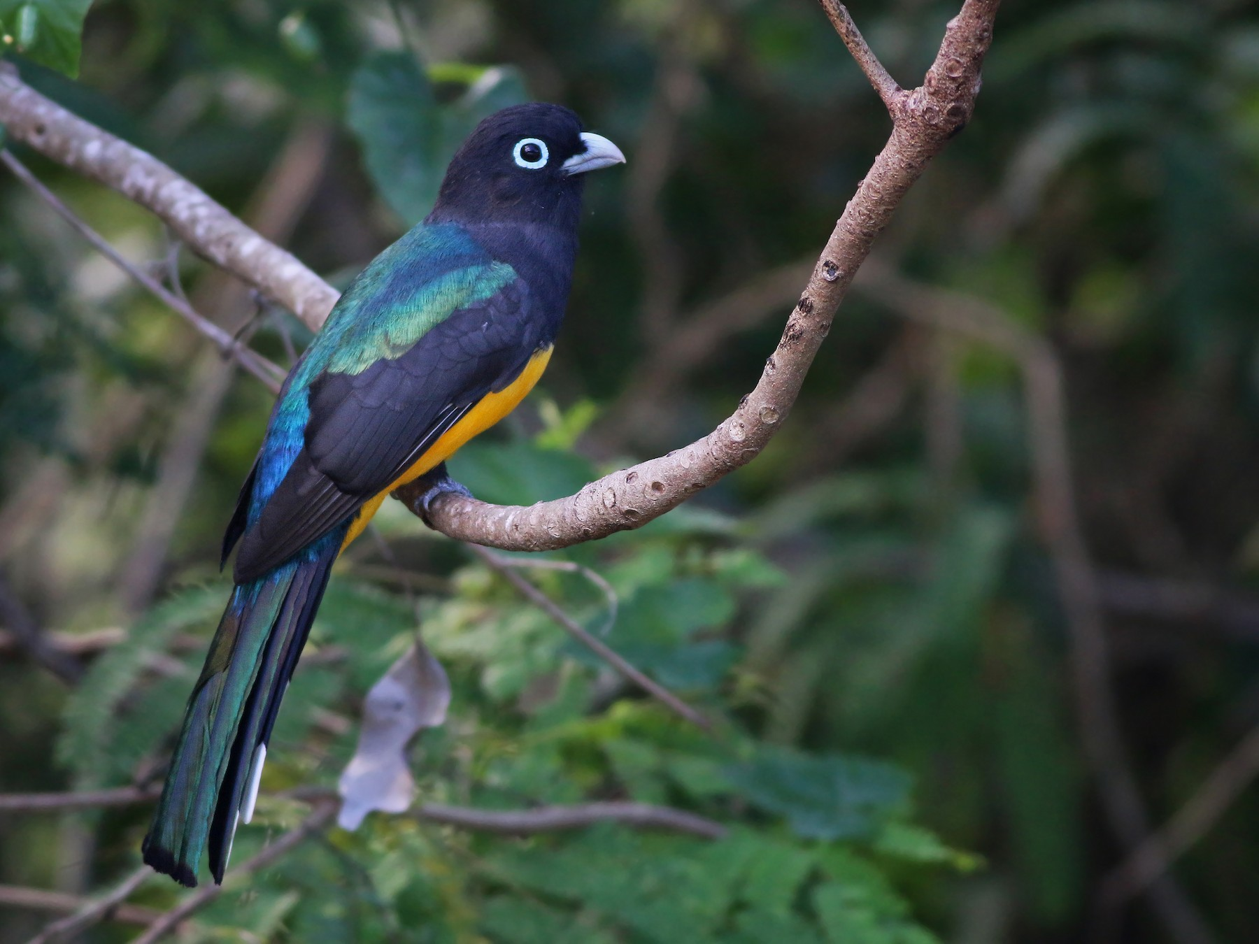 Black-headed Trogon - Ian Davies