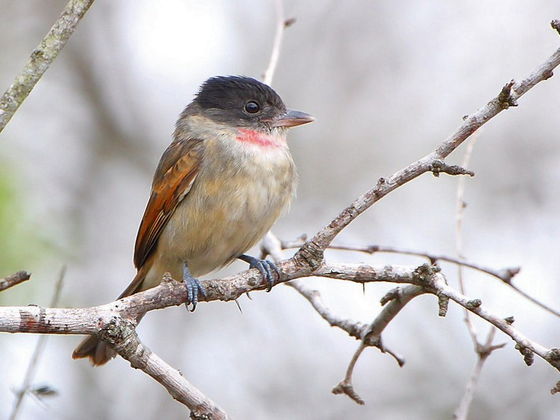 Rose-throated Becard - Allen Smith