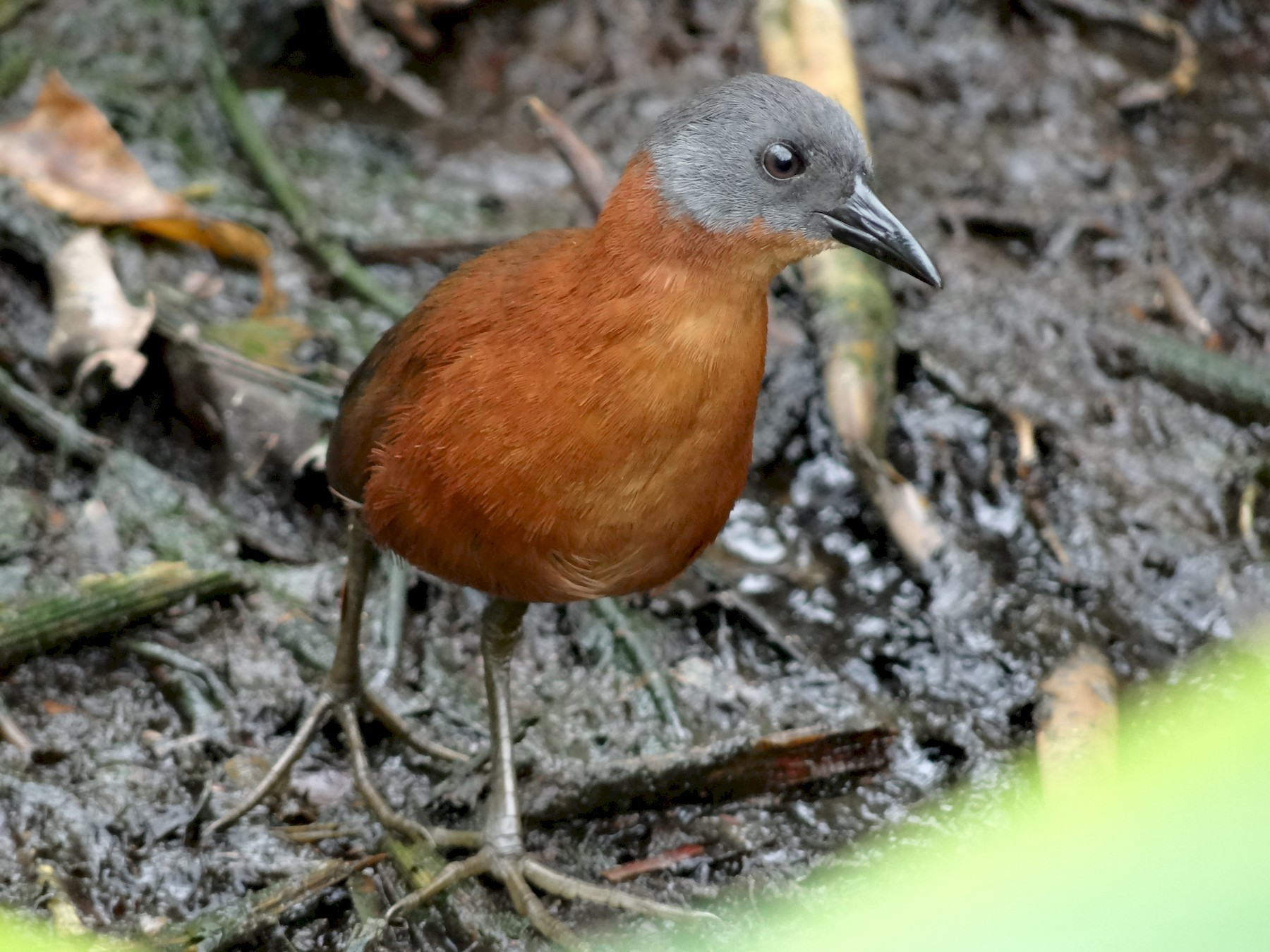 Ruddy Crake - Ichi Nature Tours