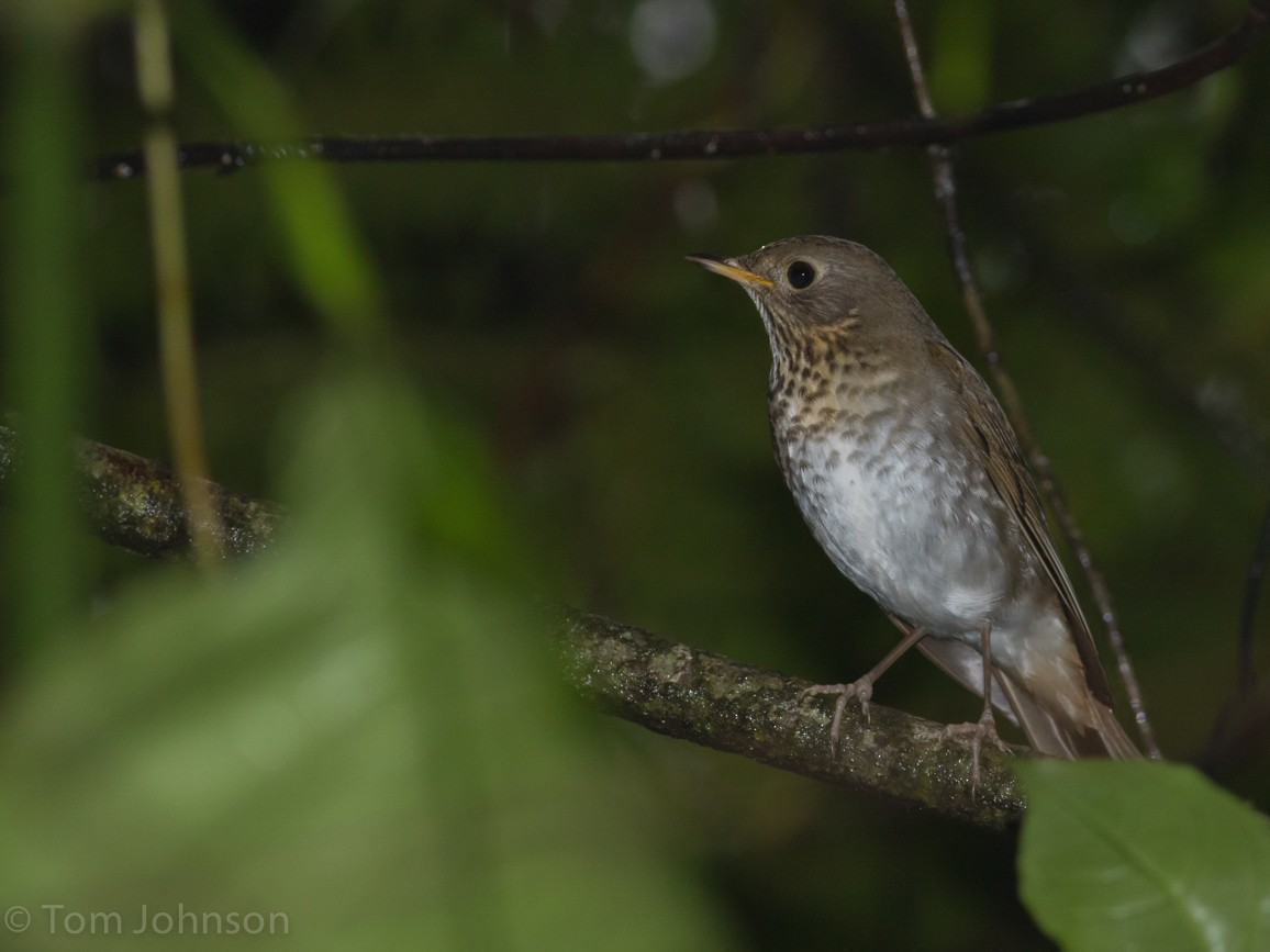 Bicknell's Thrush - Tom Johnson