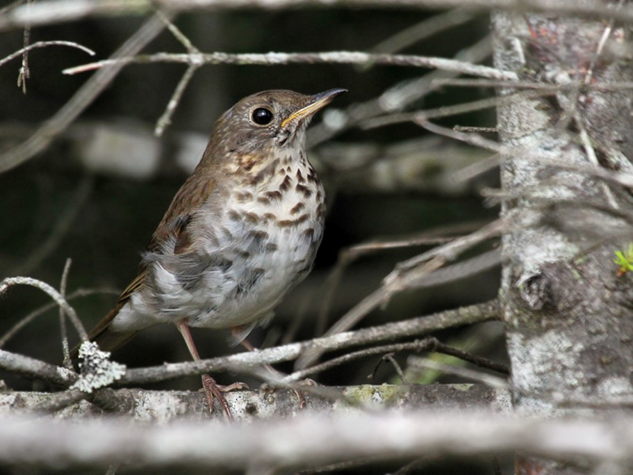 Bicknell's Thrush - Dick Dionne