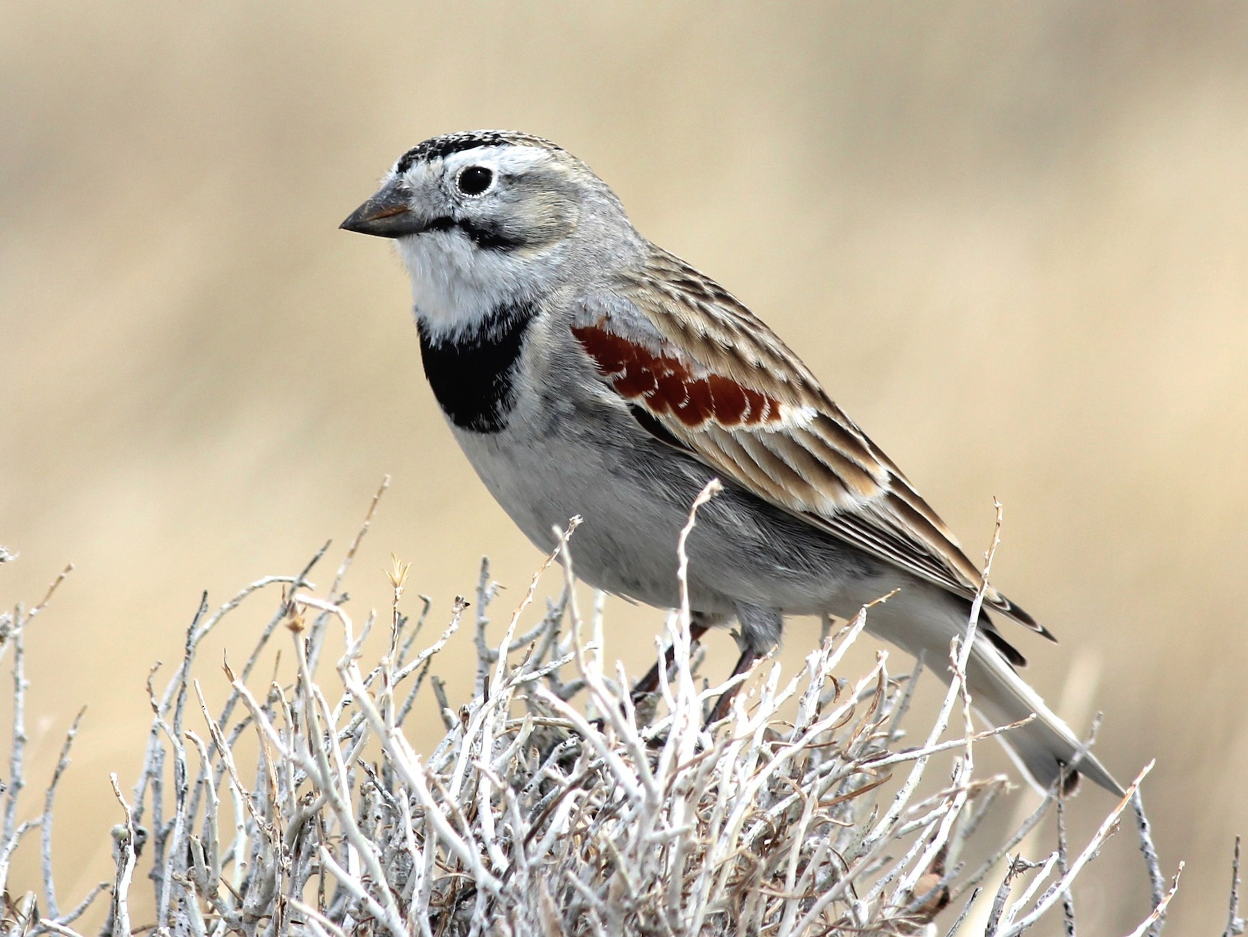 McCown's Longspur - Shawn Billerman