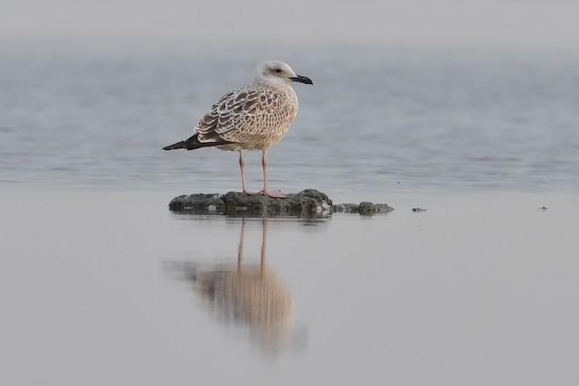 Herring Gull (Mongolian)