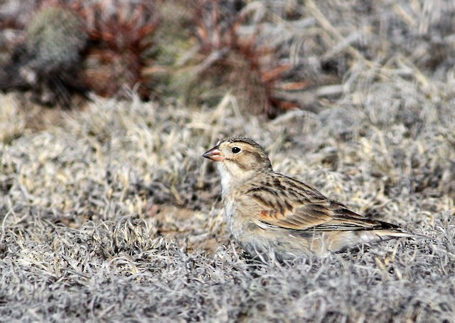 Thick-billed Longspur