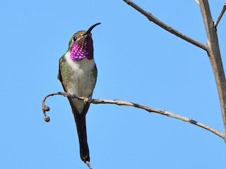 - Mexican Sheartail