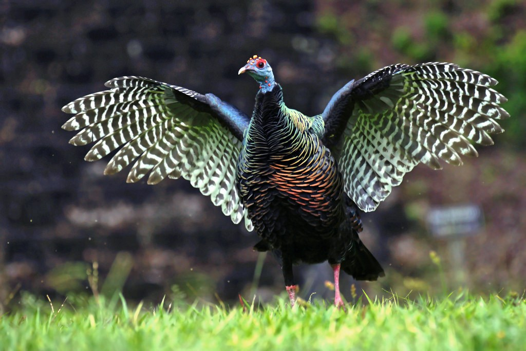 Ocellated Turkey - David Irving