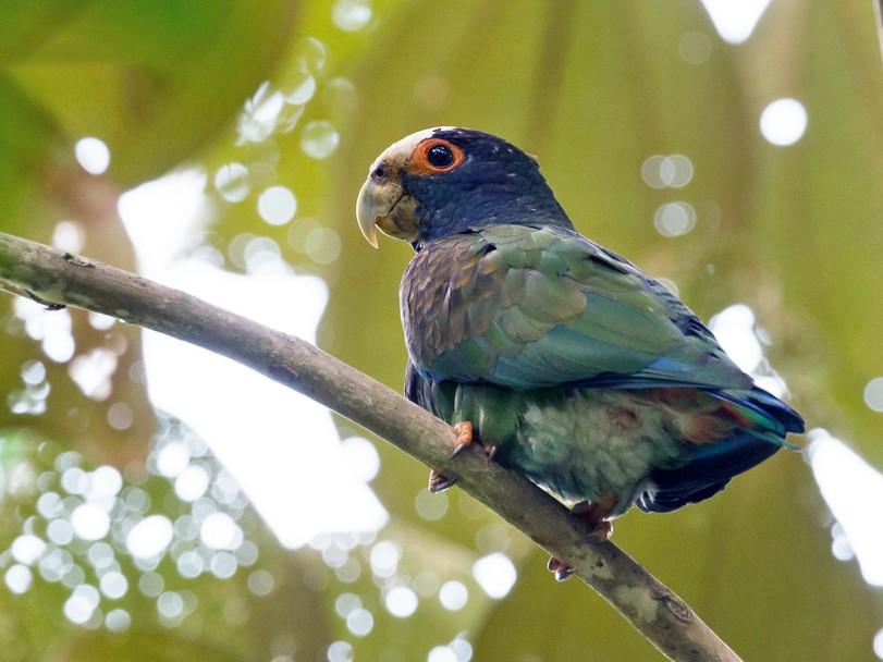 White-crowned Parrot - Rolando Chávez