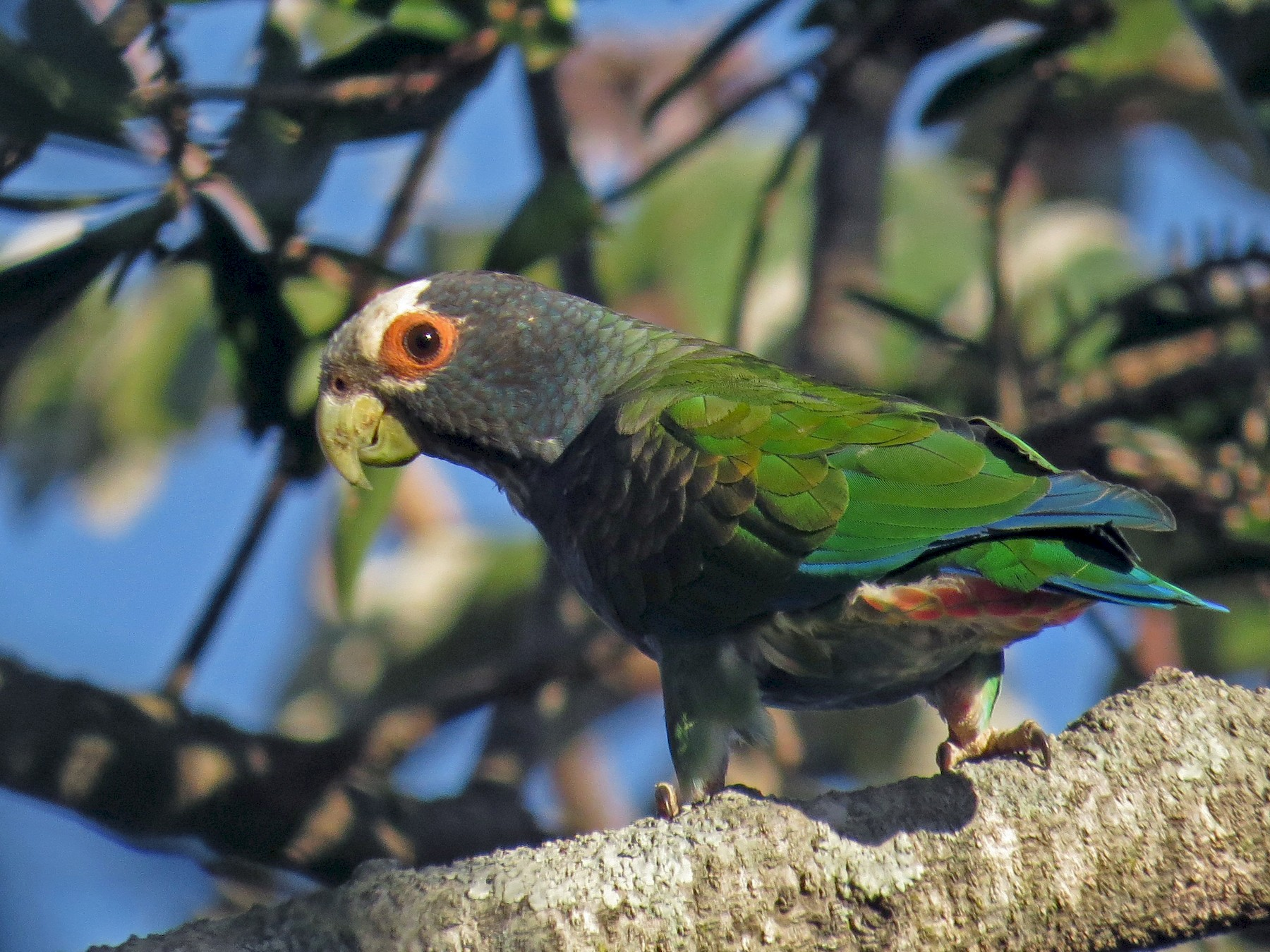 White-crowned Parrot - Seth Inman