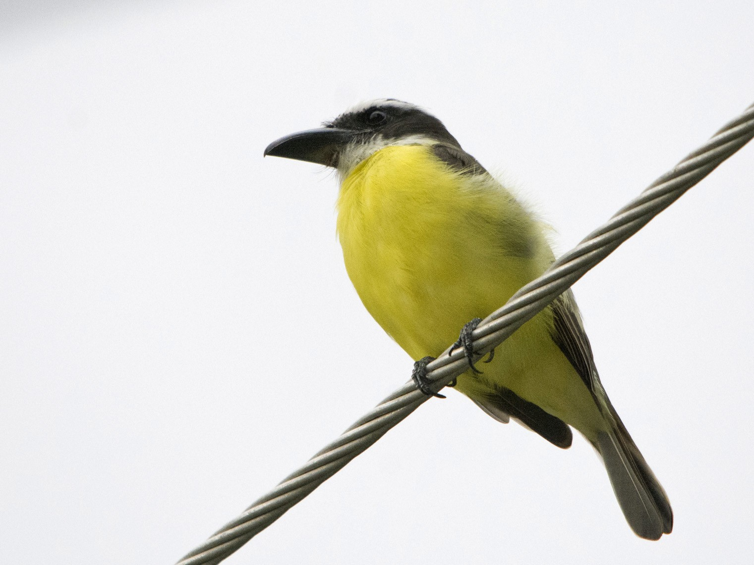 Boat-billed Flycatcher - Jerome Foster