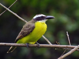 - Boat-billed Flycatcher