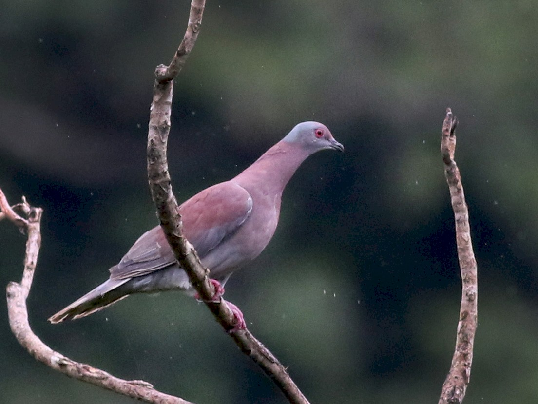 Pale-vented Pigeon - Jay McGowan