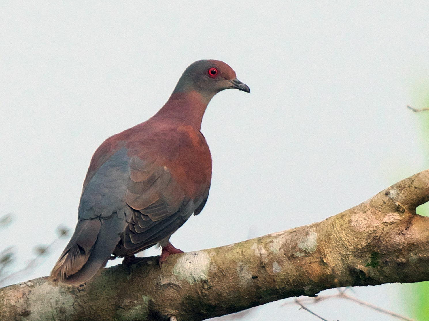 Pale-vented Pigeon - Paul Tavares