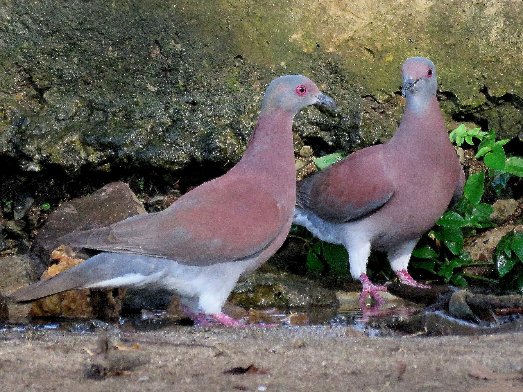 Pale-vented Pigeon - Rolando Jordan