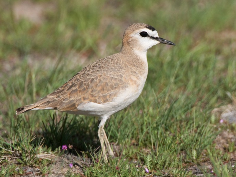Mountain Plover - Mia McPherson