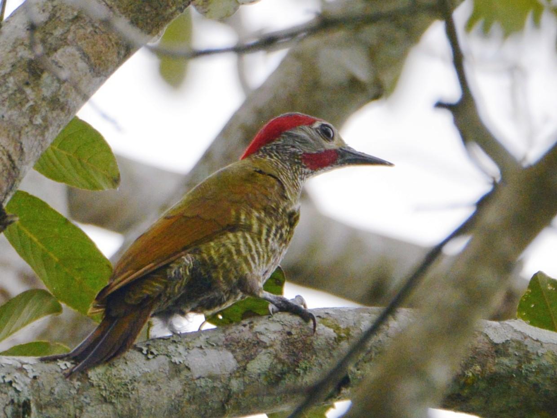 Golden-olive Woodpecker - Alan Van Norman