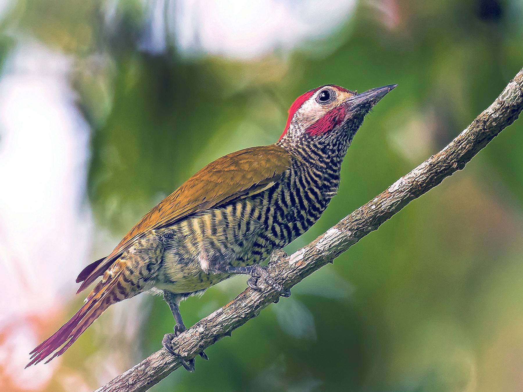 Golden-olive Woodpecker - Kamal Mahabir