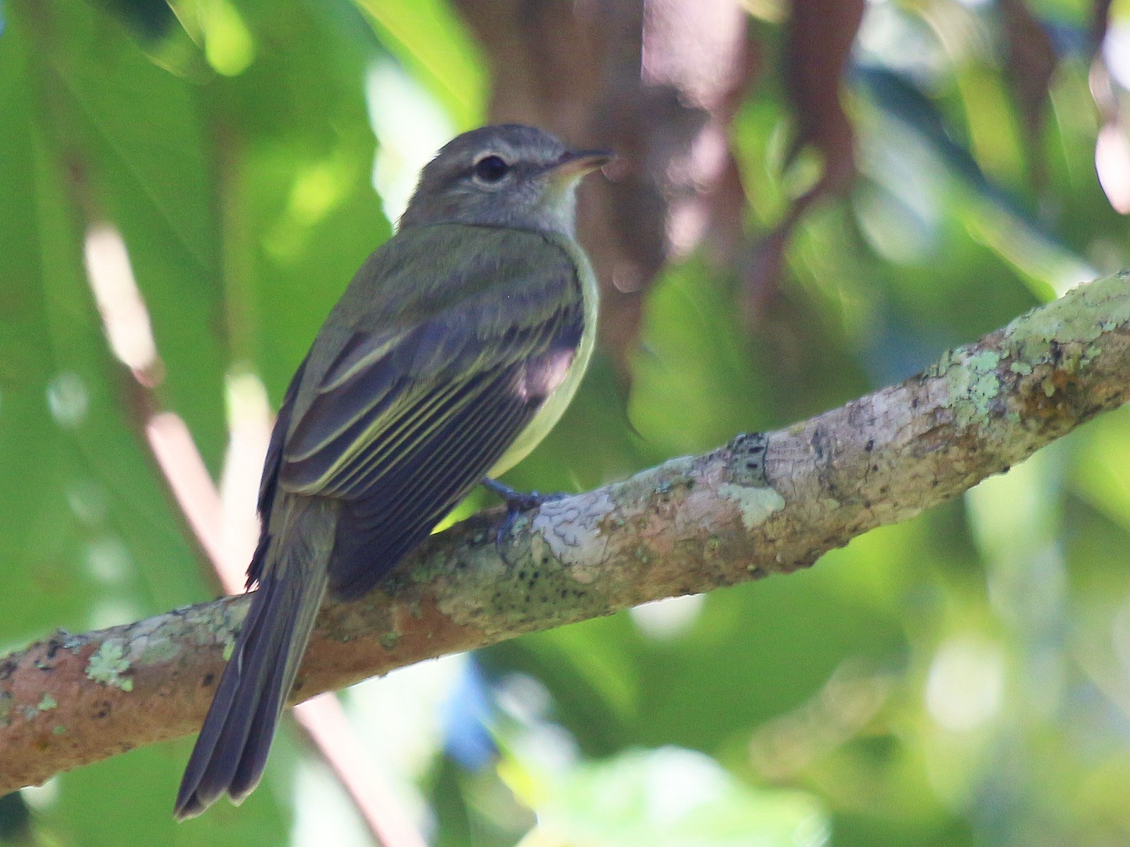 Greenish Elaenia - Pedro  Sessegolo