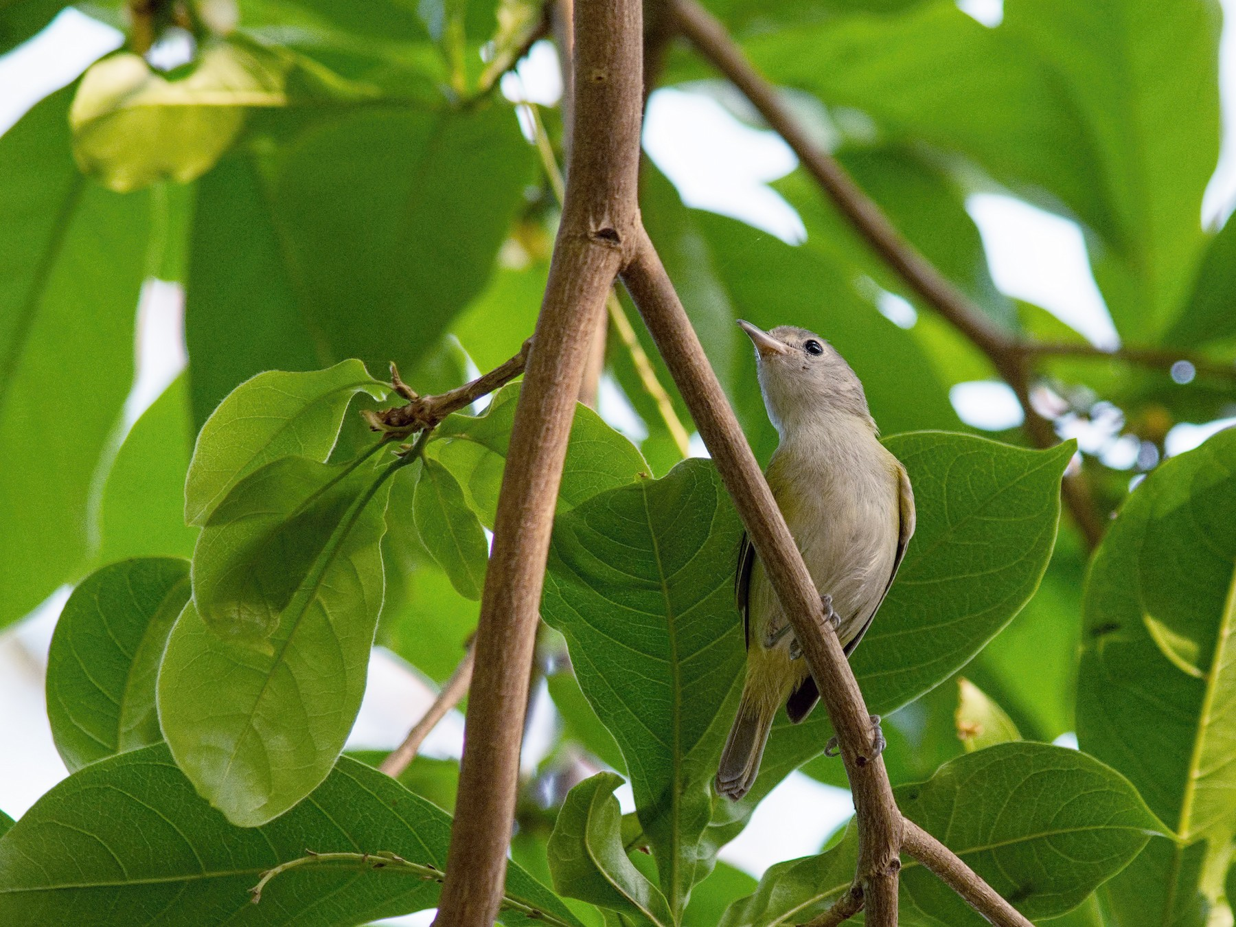 Lesser Greenlet - Tracy Patterson