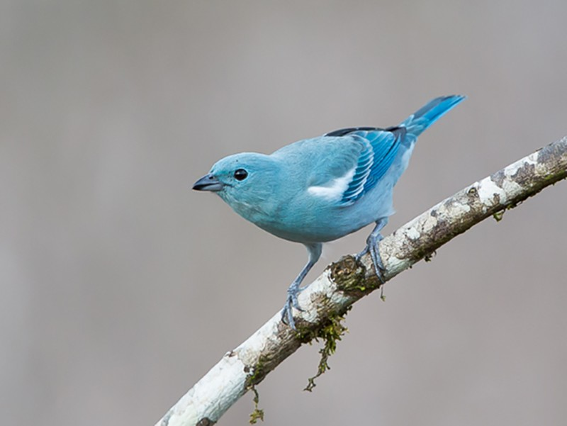 Blue-gray Tanager - Otto Samwald