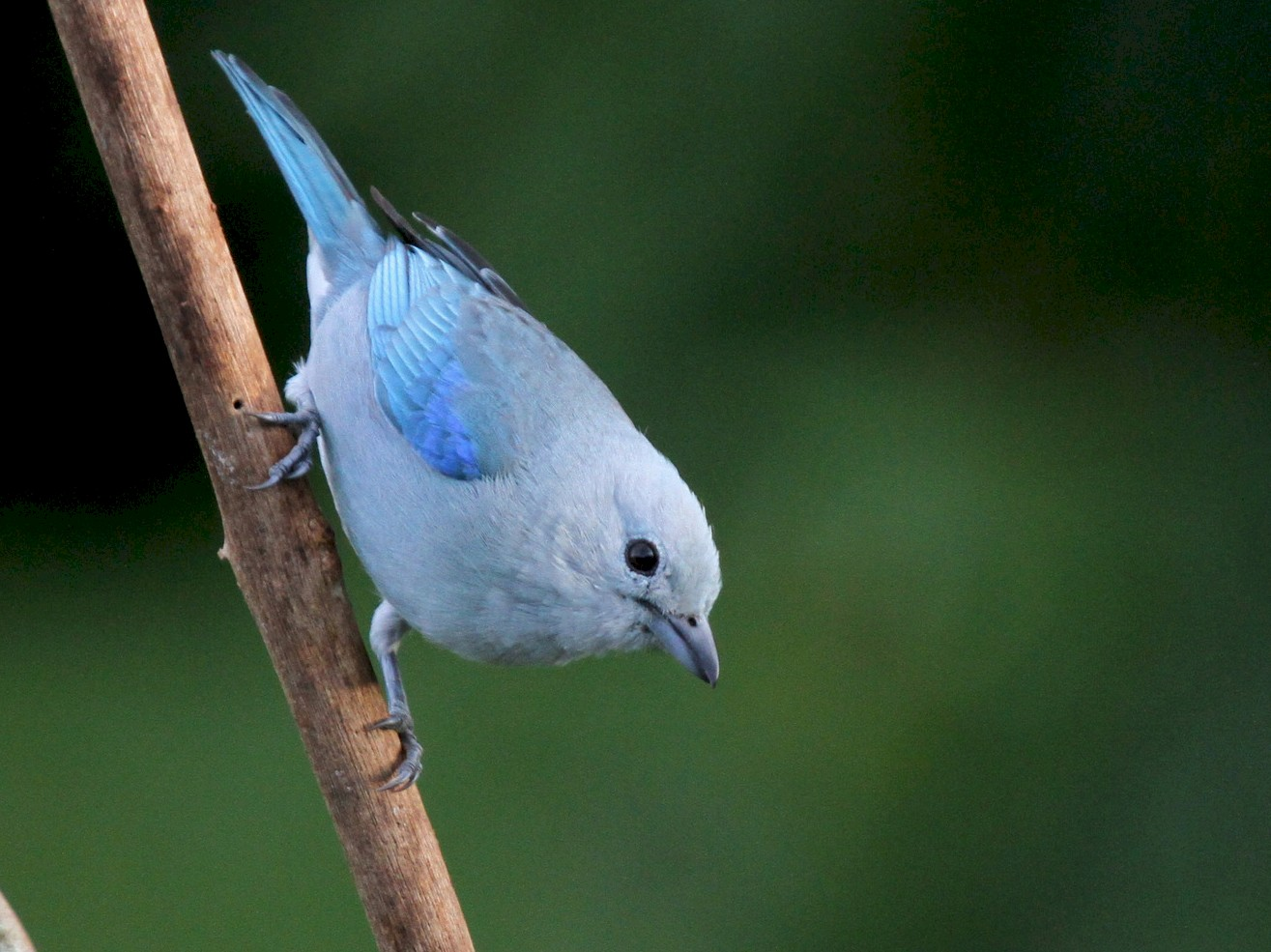Blue-gray Tanager - Matthew Grube
