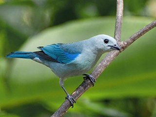 - Blue-gray Tanager