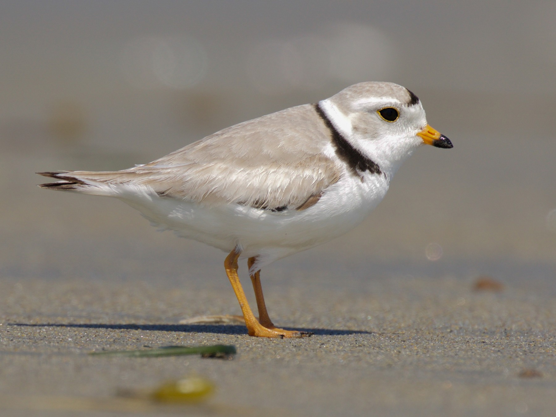 Piping Plover - Gates Dupont