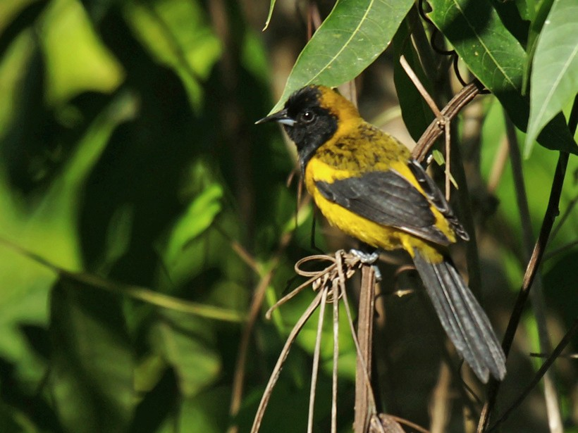 Black-cowled Oriole - David Irving